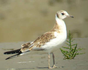 bhgull_brickeyriver_15july2006.jpg