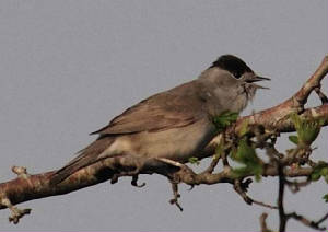 blackcap1_carrignagour_apr2011.jpg
