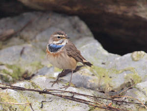 bluethroat3l_ballinclamper_21112011_gc.jpg