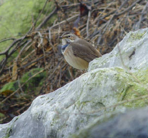 bluethroat_ballinclamper_20112011_mc_snv38443.jpg