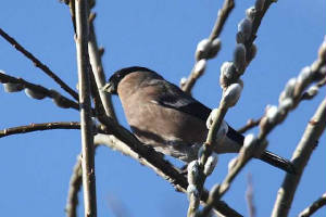 bullfinch_female_brickey_13032010_img_8247_small.jpg