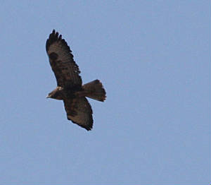 buzzard_nwwaterford_06102010_dc_img_3235_small.jpg