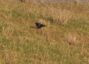 chough1_yellowbilled_tramoredump_jan2010.jpg