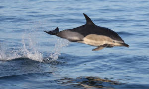 commondolphin_westwat_06112011_img_2451_medium.jpg