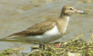 commonsandpiper_brickeyriver_15july2006.jpg