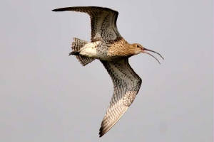 curlew_whitingbay_07032011.jpg
