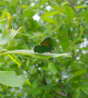 greenhairstreak_monavullaghs_05062010_snv34478.jpg