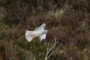 henharrier_nearknockmealdowns_30052010_img_6930_small.jpg