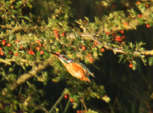 kingfisher_ballyneety_21082011_img_6268_small.jpg