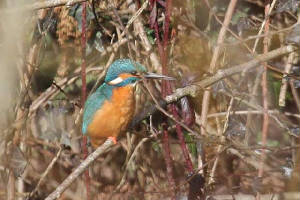kingfisher_brickey_07030210_img_7884_small.jpg