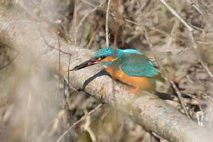 kingfisher_brickey_07032010_img_7967_small.jpg