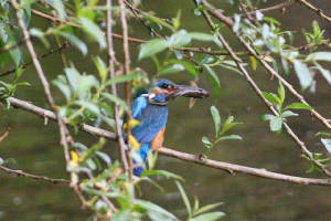 kingfisher_brickey_28052010_img_6542_small.jpg