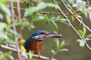 kingfisher_brickey_28052010_img_6607_small.jpg