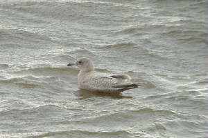 kumliensgull_blackwaterest_14012012_mc_snv38624.jpg