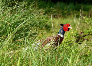 pheasant_male_kilmurrin_may2011.jpg