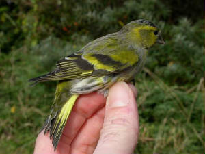 siskin_male_brhd_14oct2007.jpg