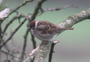 treesparrow_ardmore_01012011_dc_img_9397_medium.jpg