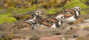 turnstones_summer_2a_1.jpg