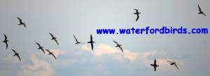 waterfordbirds_manx.jpg