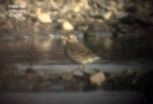 waterpipit_waterford2.jpg