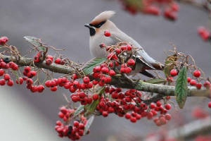 waxwing_tramore_27012011_img_2432_small.jpg