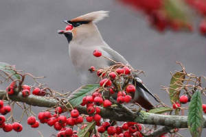 waxwing_tramore_27012011_img_2476_small.jpg