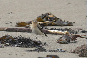wheatear_f_whitingbay_24032010_img_9724_small.jpg