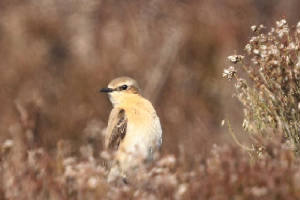 wheatear_monavullaghs_10042011_img_9518_small.jpg