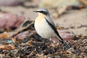 wheatear_whitingbay_06032010_img_7777_small.jpg