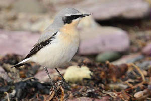 wheatear_whitingbay_06032010_img_7786_small.jpg