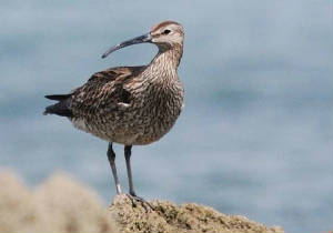 whimbrel1a_curragh_may2011.jpg
