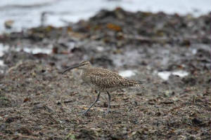 whimbrel_ballinclamper_25042009_img_0110_small.jpg