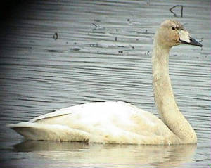 whooper_juv_knockaderry_051103.jpg