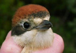 woodchat_brownstownhd_17042011_5.jpg