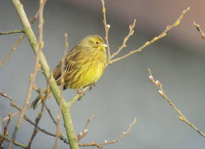 yellowhammer_cappoquin_29012011_snv36781.jpg