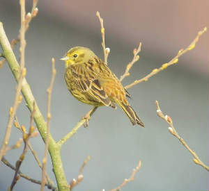 yellowhammer_cappoquin_29012011_snv36785.jpg