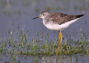 yellowlegs_dungarvan_22112009.jpg