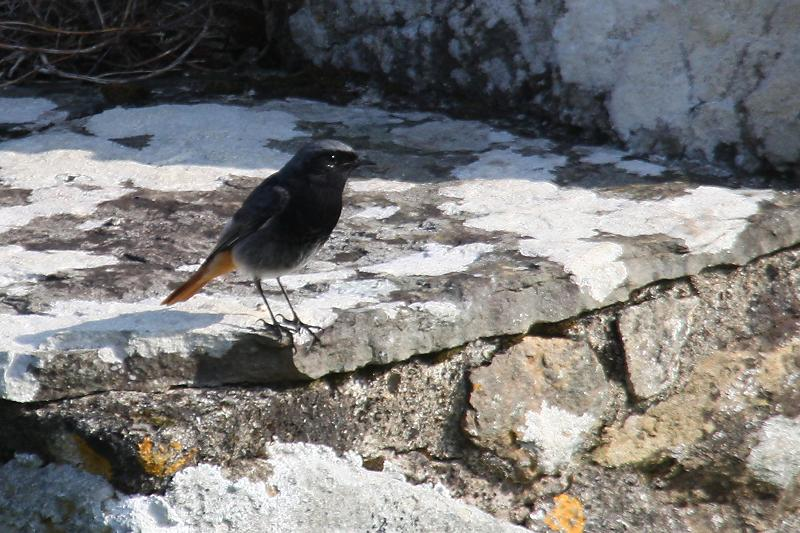 blackredstart_male_ardmore_26032011_img_7457_small.jpg
