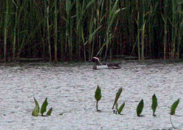 garganey_ballinlough_04052011_064.jpg