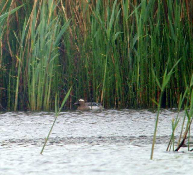 garganey_ballinlough_04052011_snv37349.jpg