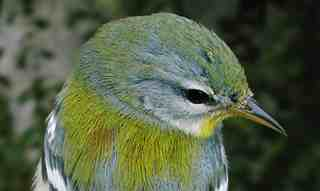 parula_1ym_head_brownstown_oct2003.jpg