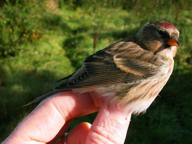 redpoll_admale_brhd_10oct2007_5.jpg