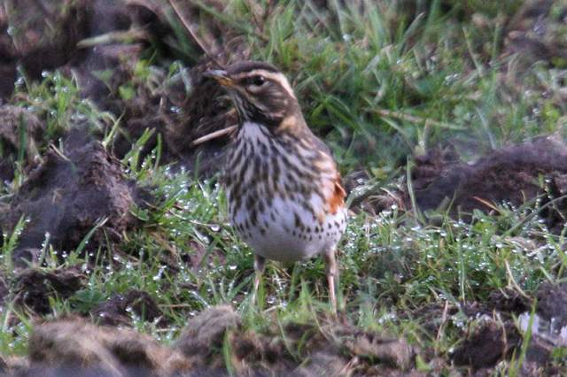 redwing_cappoquin_12022011_img_3926_small.jpg
