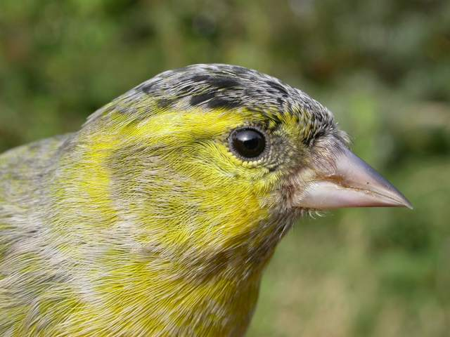 siskin_male_brhd_21oct2007_5.jpg