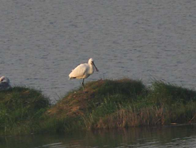 spoonbill_killongford_19042011_img_1115_small_dc.jpg
