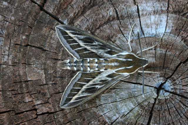 stripedhawkmoth_crookhaven_28aug2006_mikecoverdale_img_7826.jpg