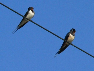 swallows_lismore_p1020077.jpeg