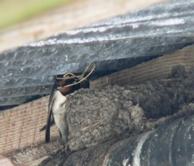 swallows_lismore_p1020168.jpeg