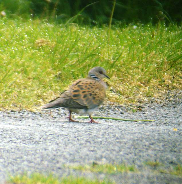 turtledove_ballinroad_17may2008.jpg