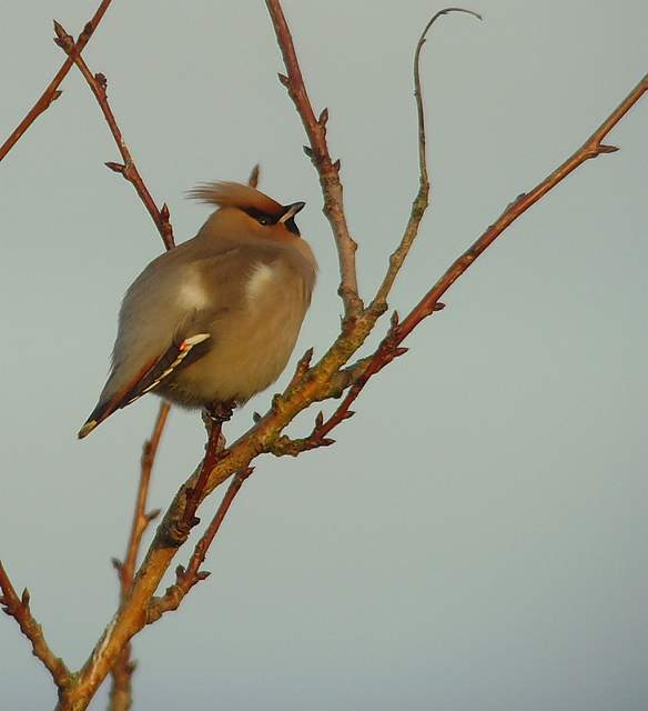 waxwing_tramore_22012011_snv36745.jpg
